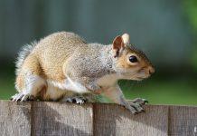 squirrel  e
