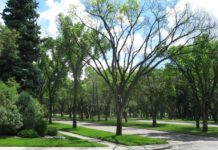 Knowing Growing – How Calgarians Can Protect Elm Trees