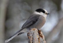 Calgary Wildlife – Grey Jay