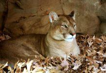 Calgary Wildlife Cougar