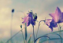 round leaved bellflower